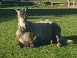 Grey horse in field to illustrate question - Could your grey benefit from Cowboy Magic products